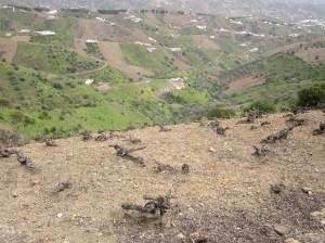 Desde el llamado Camino de la Cornisa se pueden ver numerosos viñedos moscatel.