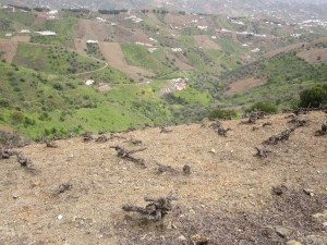 En esta ruta se pueden ver los escarpados viñedos de la Axarquía.
