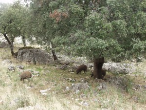 Los cerdos ibéricos están en semilibertad en este enclave natural.