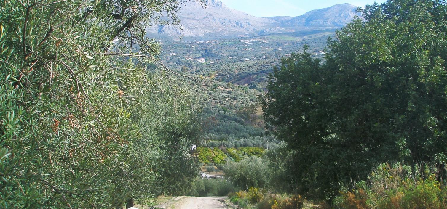 Olivo verdial