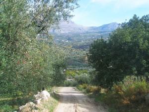 El olivar verdial está muy presente en el paisaje de Periana.