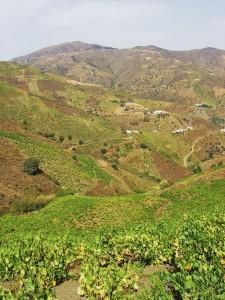 En primavera el corazón de la Axarquía exhibe este colorido paisaje agrícola.