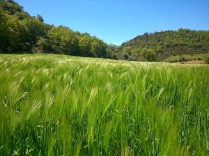 cereales en Alfarnate