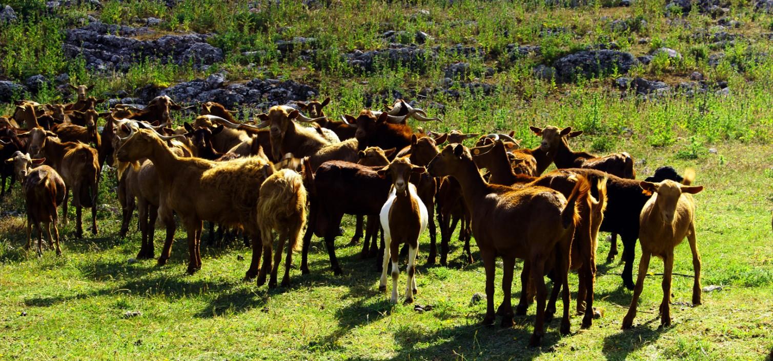 15 razones para entender la importancia de la cabra malagueña