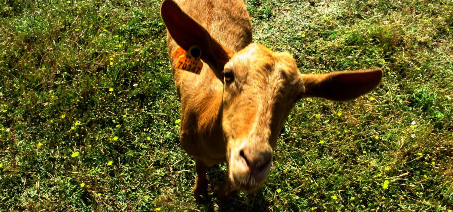Cabra malagueña