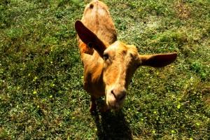 Ejemplar de la raza caprina malagueña.