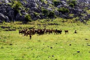 La cabra malagueña tiene un papel ecológico muy importante.