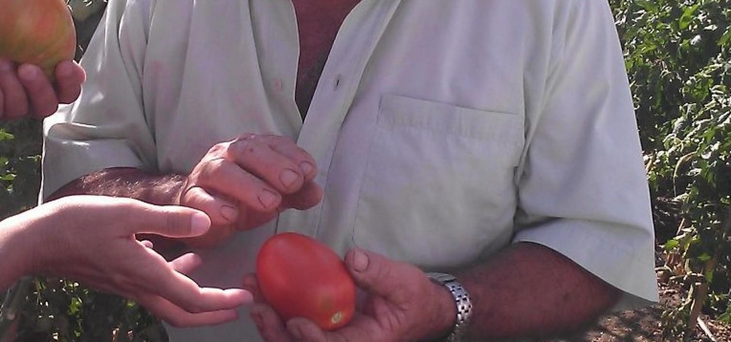 Tomates huevo de toro
