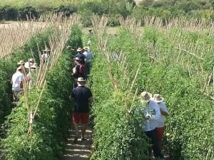 Cultivos de tomate ecológico en el Valle del Guadalhorce.