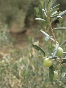 Aceitunas aloreñas listas para el 'verdeo'.