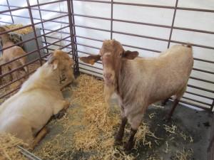 Exposición de cabra malagueña.