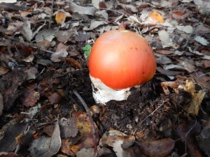 Amanitas caesarea, popularmente conocida como yema de huevo.
