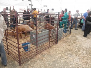 Cabras de la Real Feria de Ganado de Villanueva de Tapia.