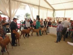 Concurso morfológico de cabras malagueñas en la feria.