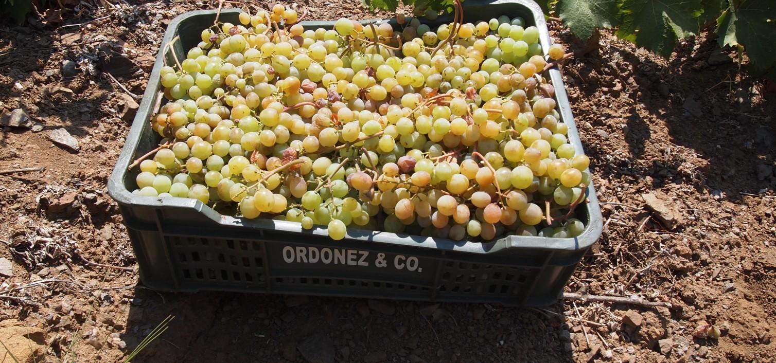 El vino Botani moscatel seco triunfa en Gran Bretaña