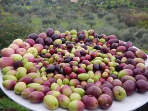 Málaga cuenta con una amplia gama de variedades de aceituna.