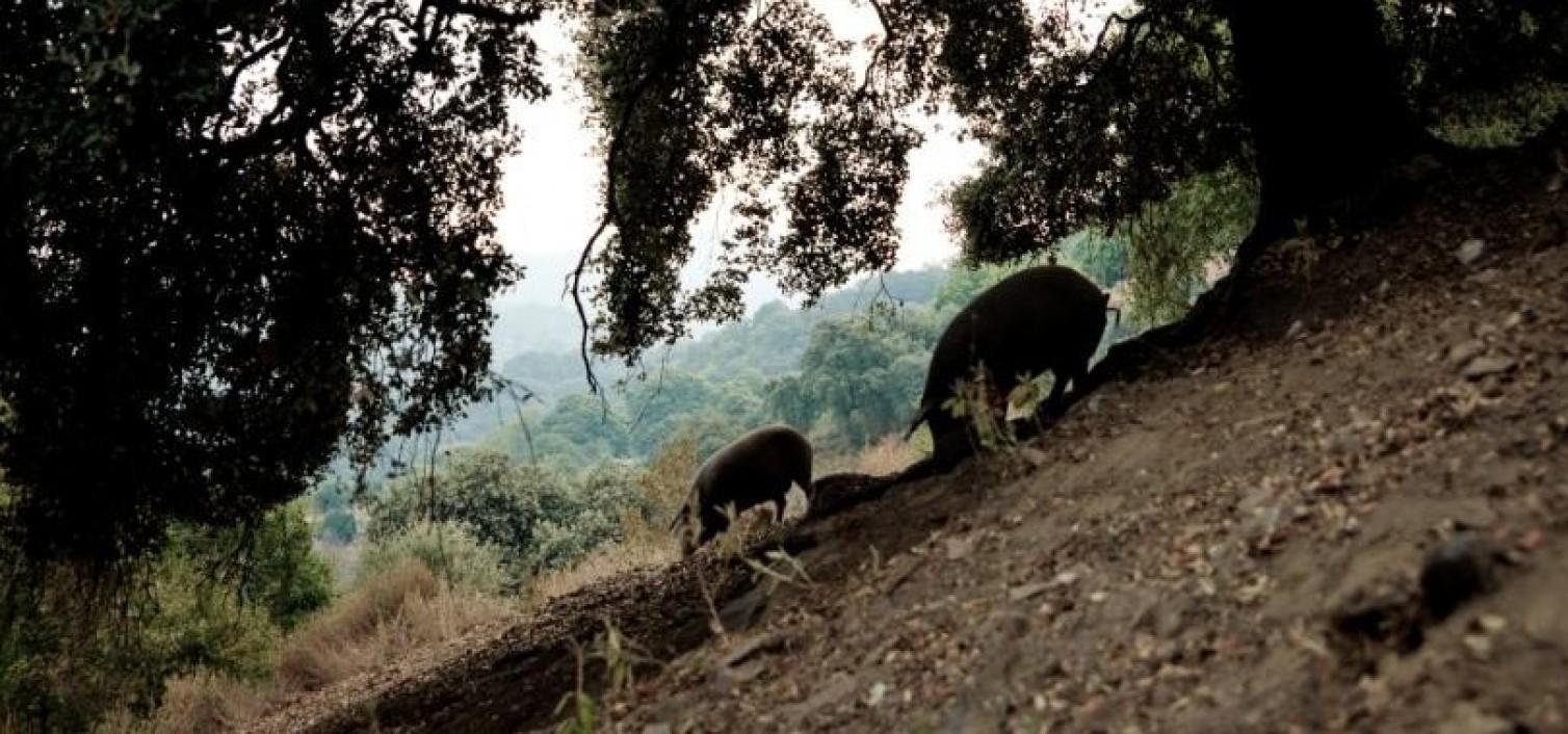 cerdos Dehesa de los Monteros