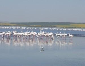 Flamencos en la Laguna de Fuente de Piedra.