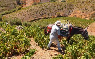 La Historia del Vino en Málaga y los antecedentes de la Denominación de Origen