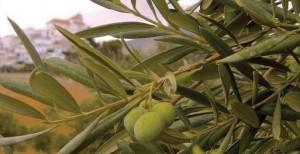 Aceituna manzanilla aloreña en Alozaina