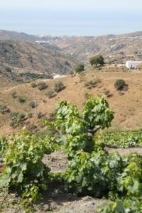 Muchas viñas de Moclinejo miran al Mediterráneo.