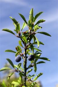 Las endrinas tienen un color violáceo azulado en su maduración.