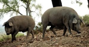 Cerdos 100% Ibéricos entrepelados en una de las fincas de la Dehesa de los Monteros en Faraján (Valle del Genal). Se pueden observar las características de éstos: extremidades largas y finas, tobillos esbeltos, hocico largo y finos.
