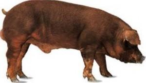 Cerdo de la raza Duroc.