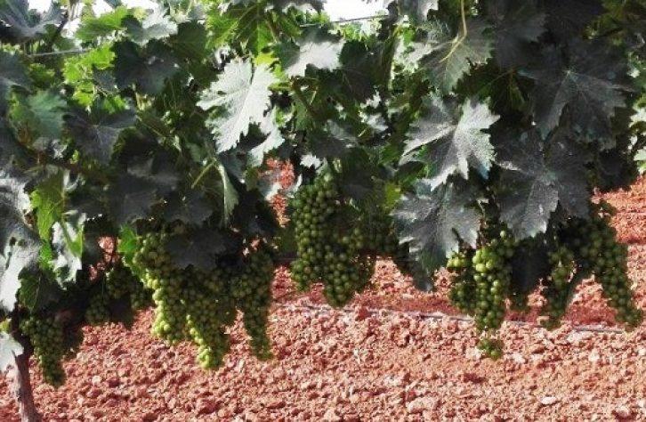 Bodega Tierras de Mollina se prepara para una vendimia inmejorable