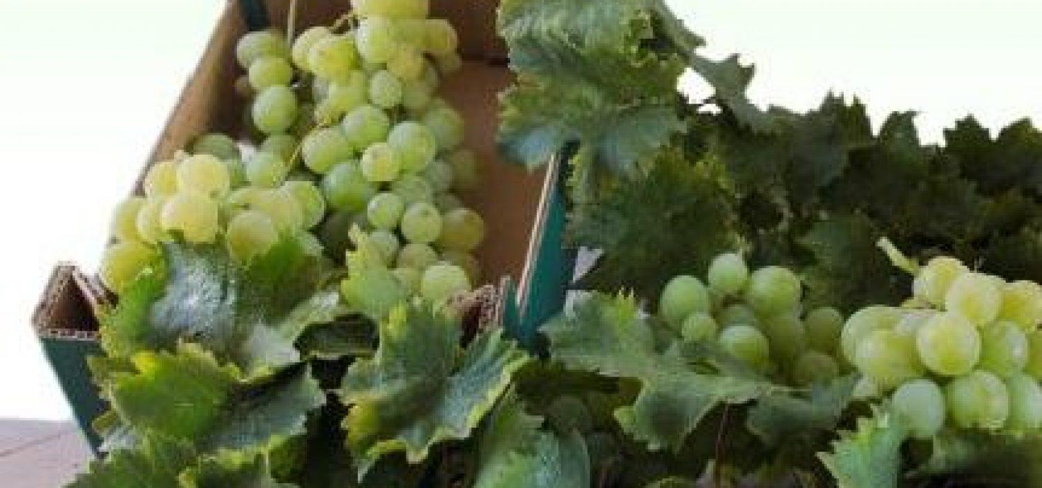 Fiesta de la Uva Moscatel de Iznate