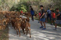 Niños pastoreando cabras malagueñas en Casabermeja.