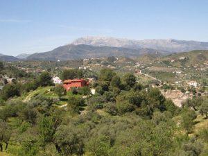 Paisaje de olivos de la variedad aloreña en la Sierra de las Nieves.