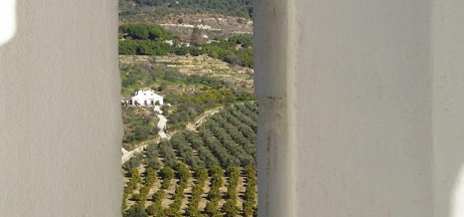 Olivos de la variedad aloreña en la Sierra de las Nieves