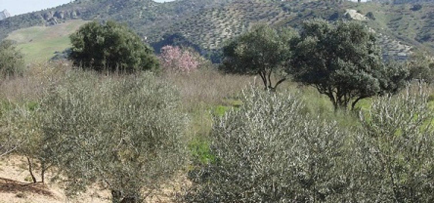 Un denso olivar de la variedad aloreña.