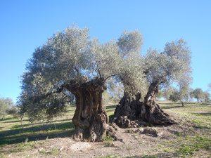 Olivo del Arroyo Carnicero en Casabermeja.