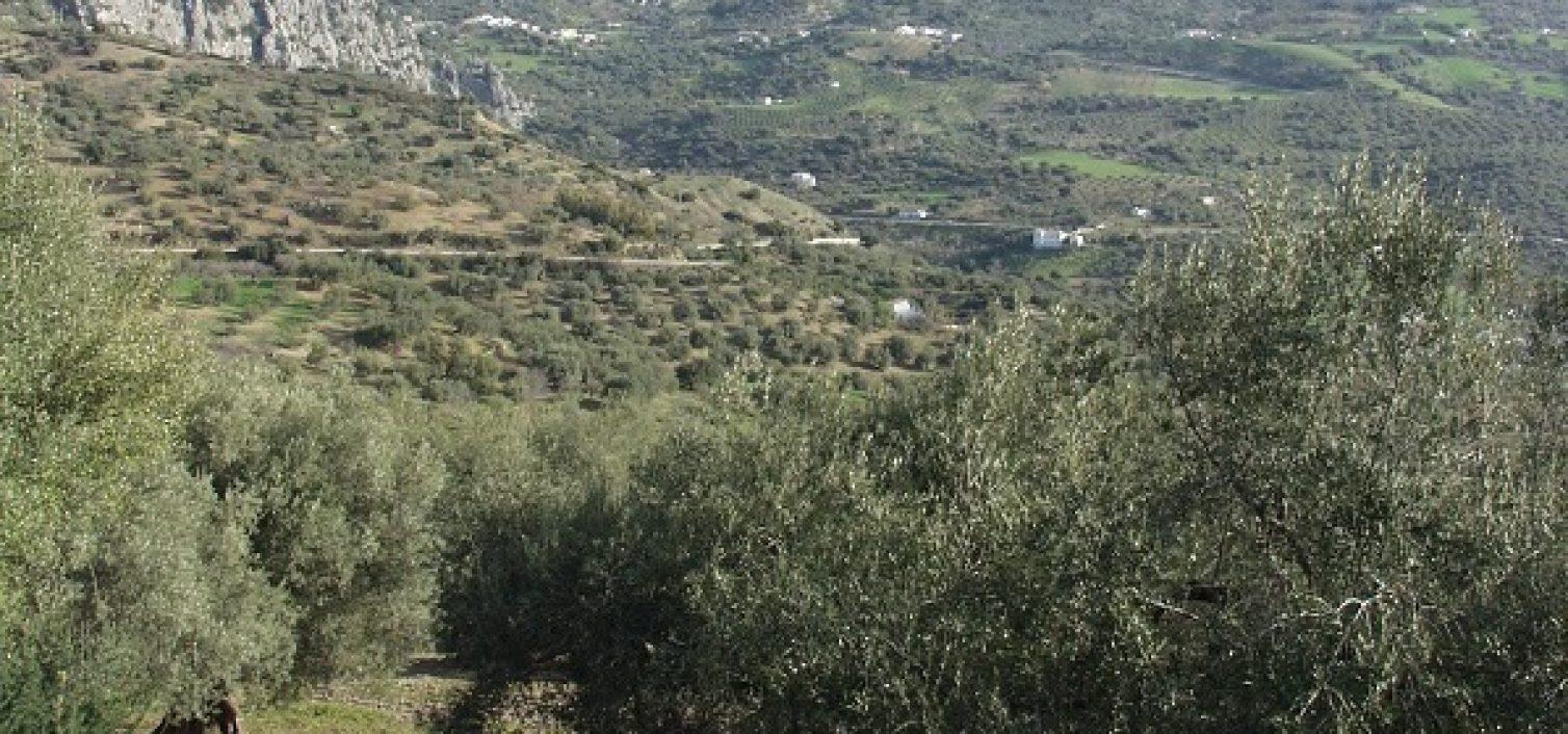 Olivar verdial entre Riogordo y Periana.