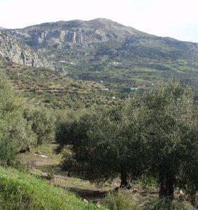 Olivar entre Riogordo y Periana.