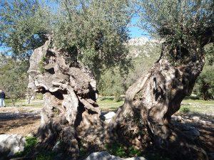 olivo monumental en Alfarnatejo