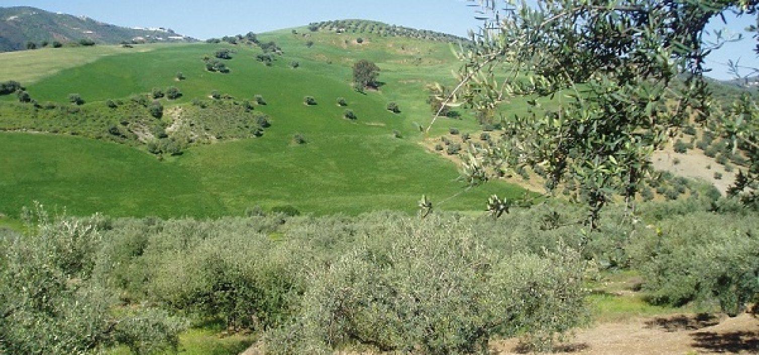 Ruta del olivar verdial