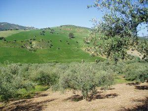 Paisaje de olivar verdial en Periana.