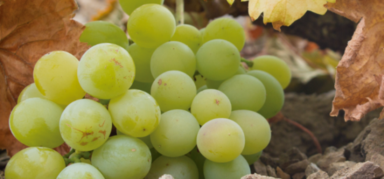 Día de la Uva Moscatel 2019 en Iznate