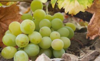 Día de la Uva Moscatel 2018